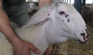 Περιλαρυγγικό οίδημα σε πρόβατο προσβεβλημένο από Καταρροϊκό Πυρετό: Ένα από τα χαρακτηριστικότερα κλινικά συμπτώματα, που καταγράψαμε στην παρούσα επιζωοτία