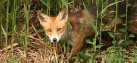 εμβολιασμός αλεπούδων κατά λύσσας