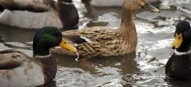 γρίπη των πτηνών σε αγριόπαπιες στην Ολλανδία