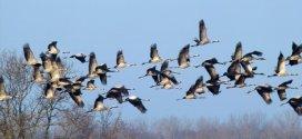 πως έρχεται η γρίπη των πτηνών