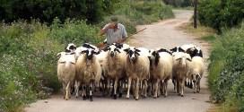berger moutons grèce