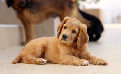 Εμβόλιο Γρίπης Σκύλου